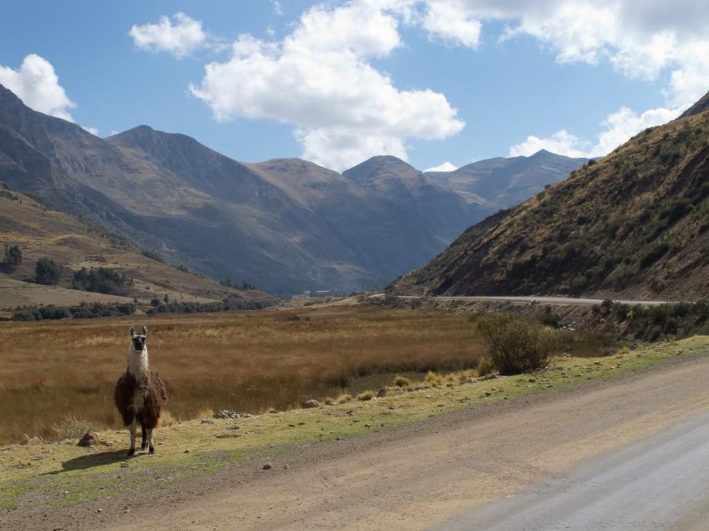 Posing Lama